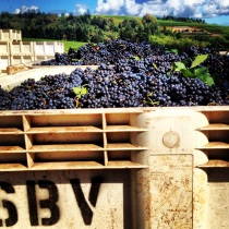 Pinot Noir coming in at Sokol Blosser Vineyards