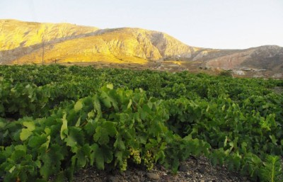 Fields of 200+ year old assyrtiko vines on Santorini