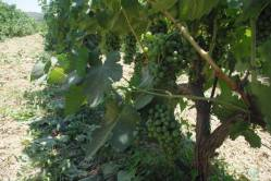 Savatiano grape grown just outside of Athens
