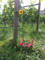 Switchback Vineyard in Summerland at thanksgiving
