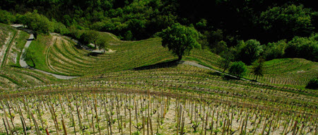 Syrah vines at Donaine Courbis 2