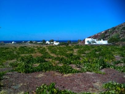 Vineyards, Santorini