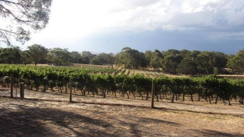 Gamay vines growing in Morgon