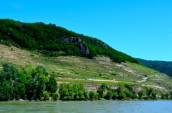 Riesling vines along the Danube