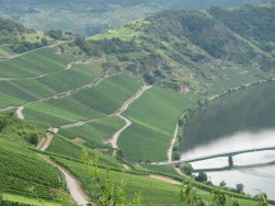 Riesling vines along the Mosel