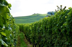 Rows of vines in Alsace