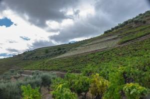 New high density, field blend planting at Quinta das Carvalhas-3413