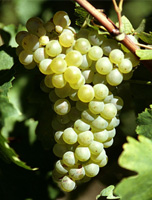 Loin de l'Oeil Grapes (Courtesy Official Website for Gaillac Wines)
