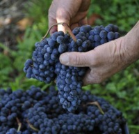 Tannat Grapes (Courtesy Official Website for Madiran Wines)