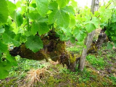 Old Vine Chenin Chateau Latour Martillac