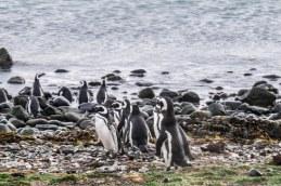 Penguins, Magdalena Island-6464