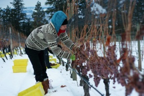 Tantalus Vineyards Ice Wine Harvest 2 (2000x1333)