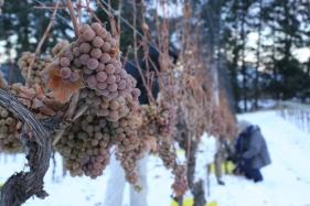 Tantalus Vineyards Ice Wine Harvest 2
