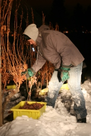 Tantalus Vineyards Ice Wine Harvest_Winemaker David Paterson