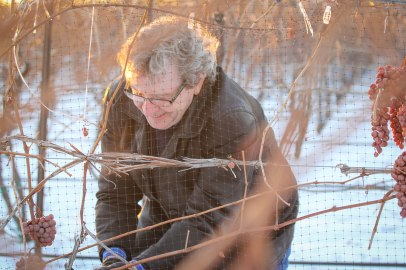 David Lawrason Harvests Icewine