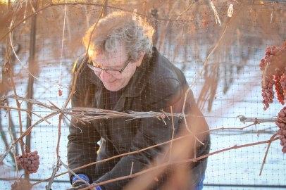 David Lawrason Harvests Icewine