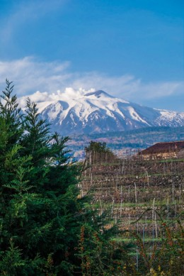 Terraced Vineyards on the slopes of Mt. Etna-7482
