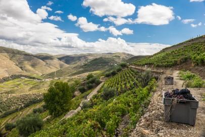 2014 Harvest in the Quinta das Carvalhas-3483