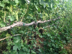 Canopy management is critical in 2015