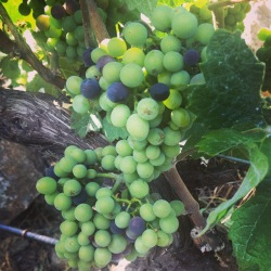 Early veraison this summer in BC