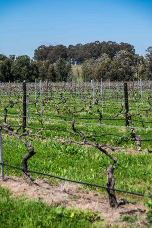 The Lovedale vineyard, planted 1946