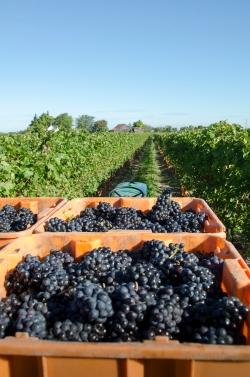 13th Street Winery Harvest