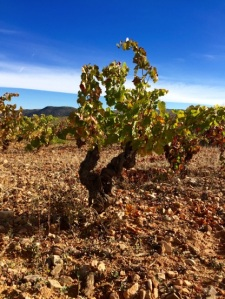 100 Year Old Vines