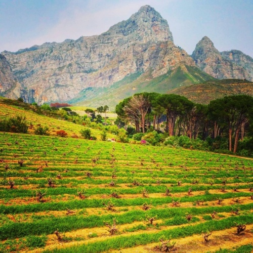 Bush vines, Groot Drakenstein Mountains, Anthonij Rupert Wyne Estate