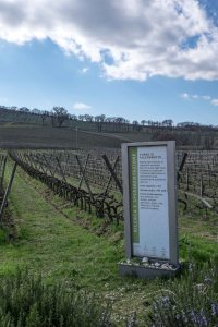 Caprai's experimental vineyards in Montefalco-4275