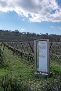 Caprai's experimental vineyards in Montefalco-4275