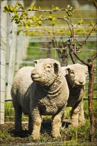 Sheep in Vineyard
