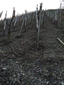 Rheingau Vineyard