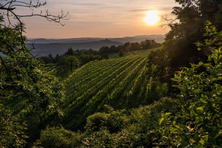 Vineyards of Filippi in Castelcerino, Soave-5231
