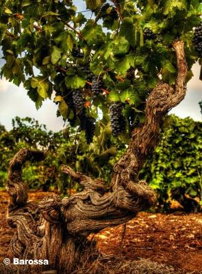 Barossa Ancestor Vine