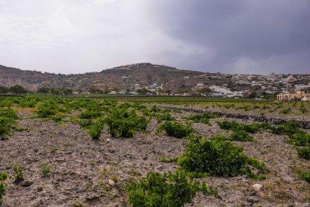 Old basket vines at Argyros Estate, Santorini-5408