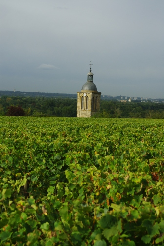 Chenin blanc growing in Vouvray