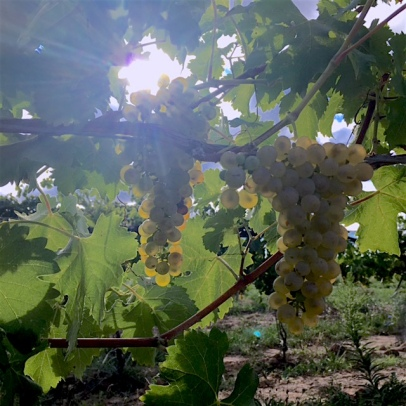 Creekside's Viognier in September