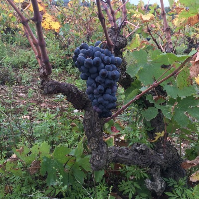 carignan-grapes-growing-in-the-languedoc