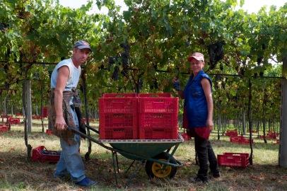 Harvest 2016 at Vigneti di Ettore