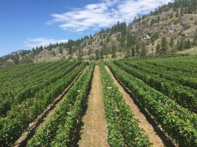 nichol-vineyard
