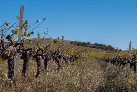 Johan Reyneke's biodynamic, old chenin blanc vineyard, Stellenbosch-7693