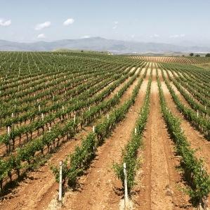 Vineyard in Tikvesh region