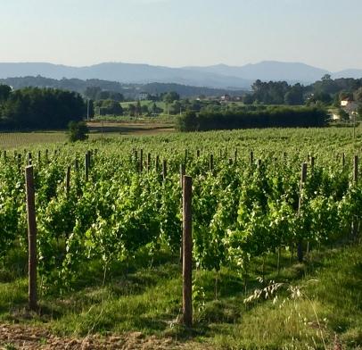 Alvarinho growing in Vinho Verde