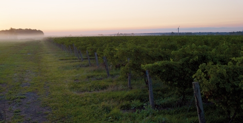Between the Lines vines, Niagara-on-the-Lake. Photo: Wine Country Ontario