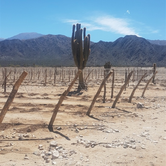 New Piattelli Vineyards planting in the high altitude desert of the Calchaqui Valley