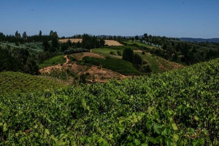 Ancient, head-trained, dry farmed vines in the rolling hills of the Itata Valley